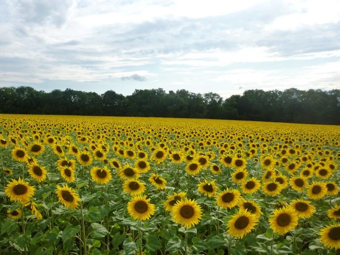 Troinex  sunflower field.